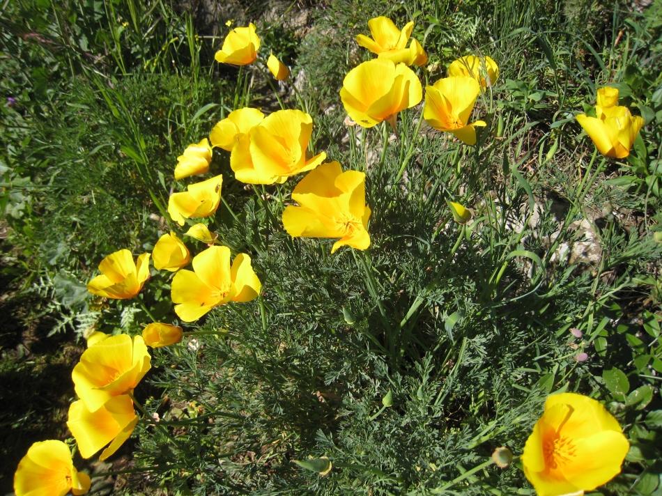 amapola de california