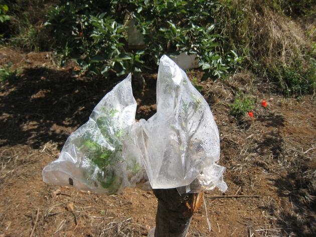 injerto con bolsa de plástico para controlar la humedad