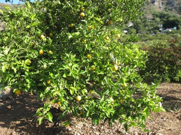 naranjas tardía cosecha actual