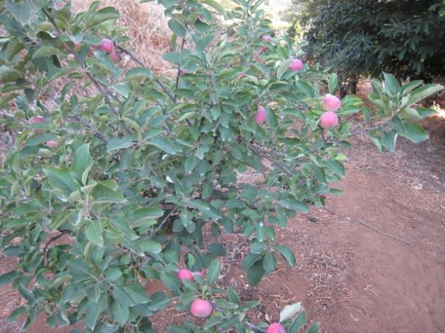 manzanas bella roma