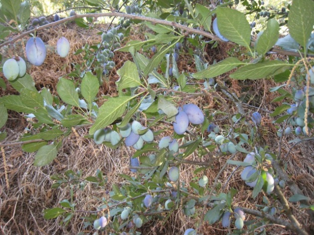 ciruelas azules
