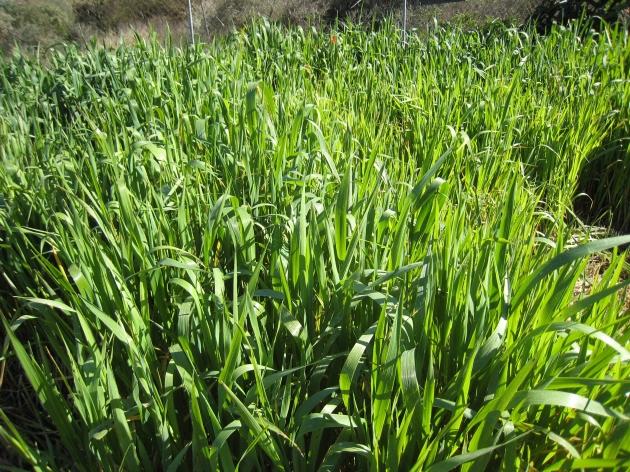 avena que proviene de la cosecha del año pasado y que compré en su día no como semilla sino como grano para alimento de caballos