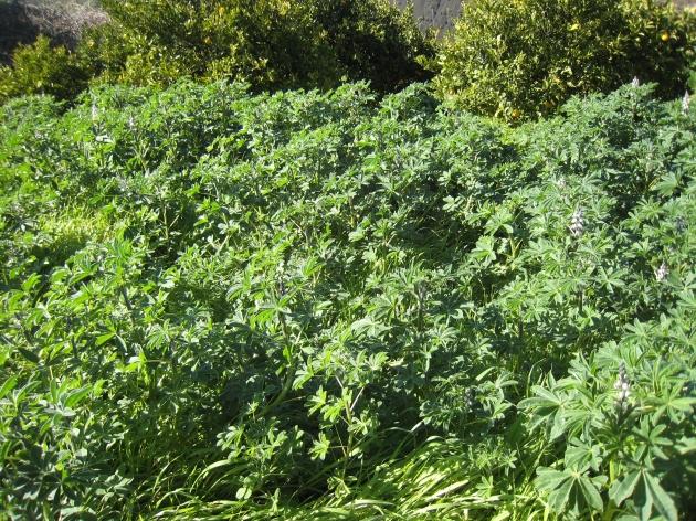 altramuces, fueron sembrados y no les he quitado la hierba, poco a poco van creciendo y van dejandola atrás , incluso cuando la hierba se seca ellos están todavía verde