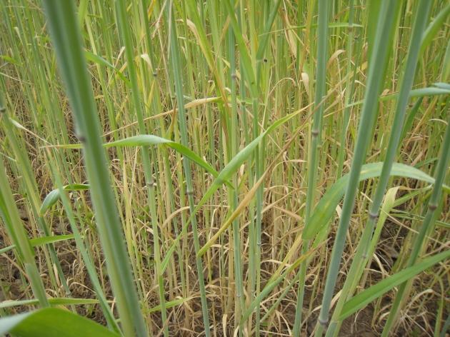 apenas hay hierba en medio del centeno