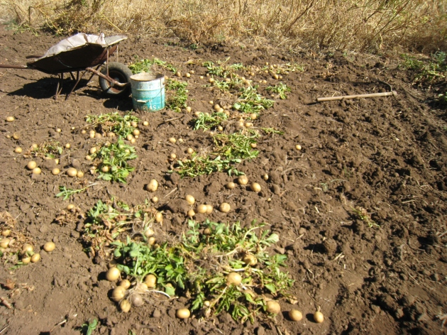 papas de semilla con certificado ecológico, su nombre es casablanca