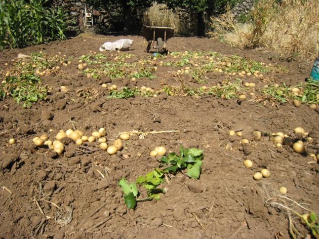 están cultivadas con abonos ecológicos, no han dado mucha cosecha, pero tiene un buen sabor