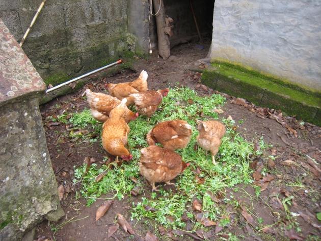 gallinitas sueltas alimentadas con pienso con certificado ecológico y hierba, pero esto no es suficiente . . .