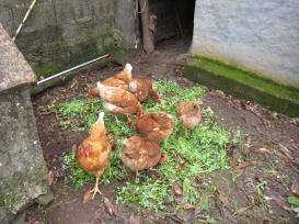 porque estas gallinitas viven hasta que mueren de viejas