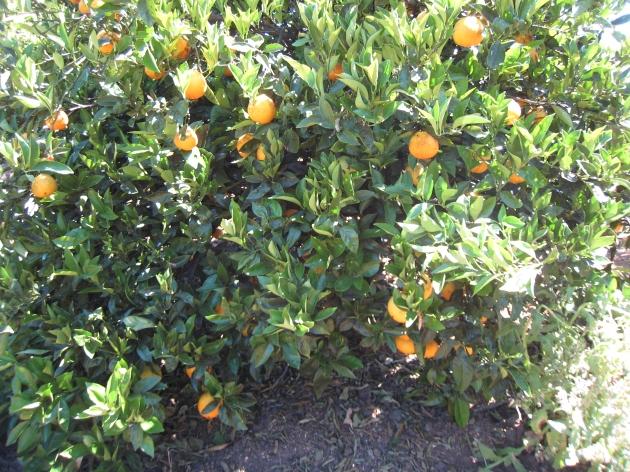 Todavía hay naranjas, estan buenas, pero se notan que hay que cogerlas
