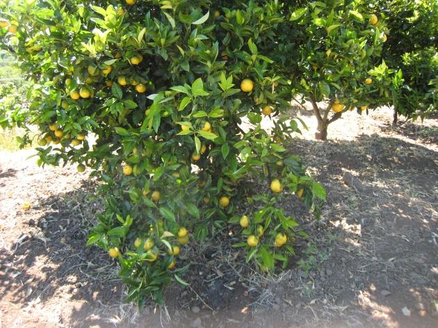 Estas naranjas son valencia late, son las más tardías.
