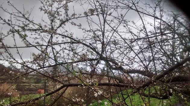 es ciruelo temprano, florece varias veces, es la excepción
